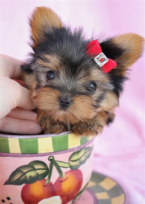 teacup yorkie florida 159 best images about teacup yorkies yorkie puppies on