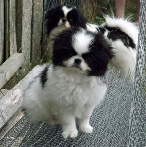 japanese chin puppies for sale japanese chin puppy for sale bicester oxfordshire pets4homes