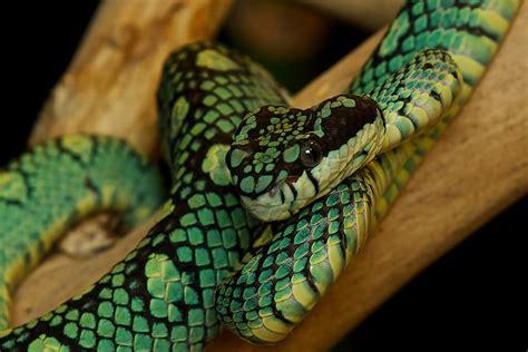 lada kundalini beautiful snake pictures lada