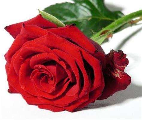 imagenes todas rojas la magia de las rosas rojas
