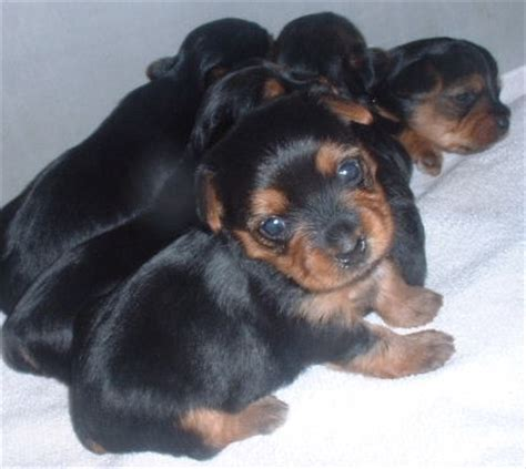 4 week yorkie puppy 4 week terrier puppies dogs in our photo