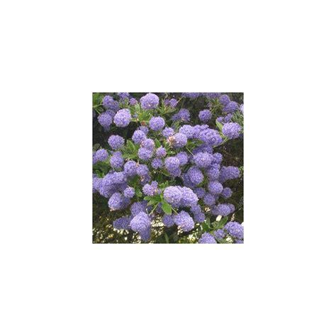Ceanothe En Pot by C 233 Anothe Concha Plantes Et Jardins
