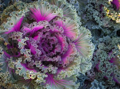 ornamental cabbage annual or perennial using fall annuals for great landscape color tomlinson