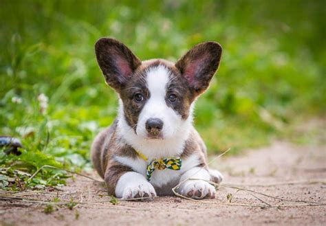 Cardigan Corgi Puppy Pictures