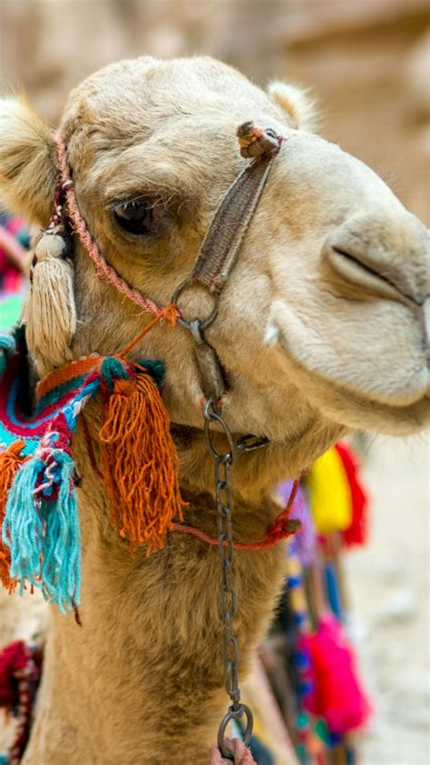 wallpaper camel cute animals funny animals