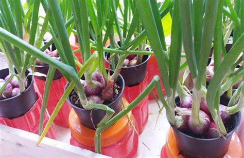 Bibit Daun Bawang Merah 7 tahap mudah cara menanam bawang merah hidroponik sederhana
