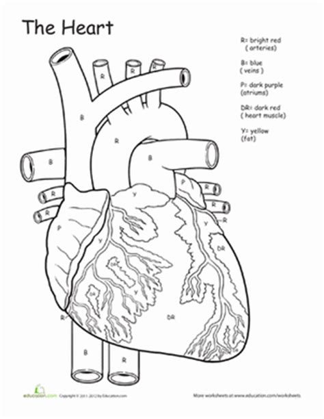 vascular anatomy coloring book awesome anatomy if i only had a worksheet