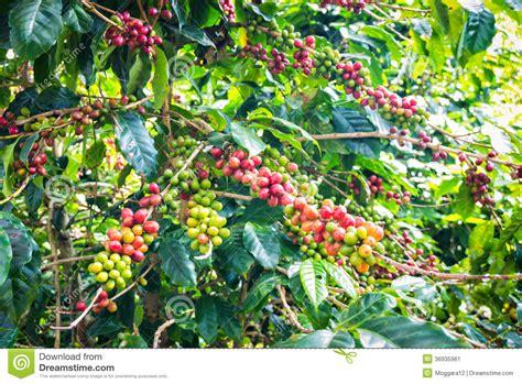 Kaffeebohnen, Die Auf Baum Reifen Stockbild   Bild: 36935961