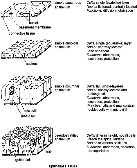 Types Of Tissues Anatomy And Physiology Of The