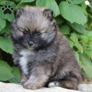 pomeranian puppy mill pomeranian puppies for sale in de md ny nj philly dc and baltimore