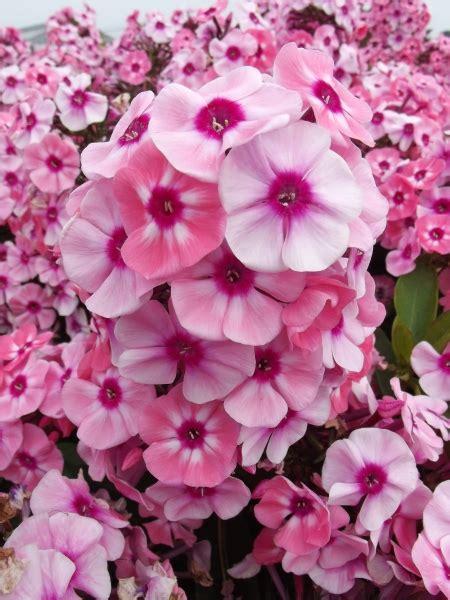 Larissa Flower Big larissa i darwin plants