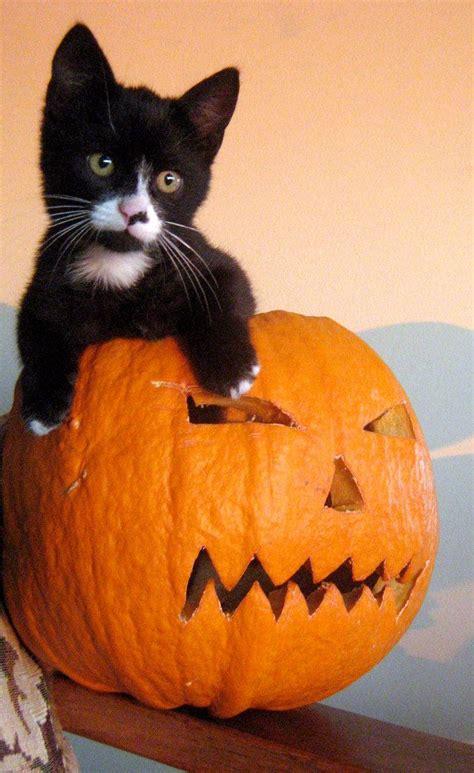 cat and pumpkin 171 best cats n pumpkins images on