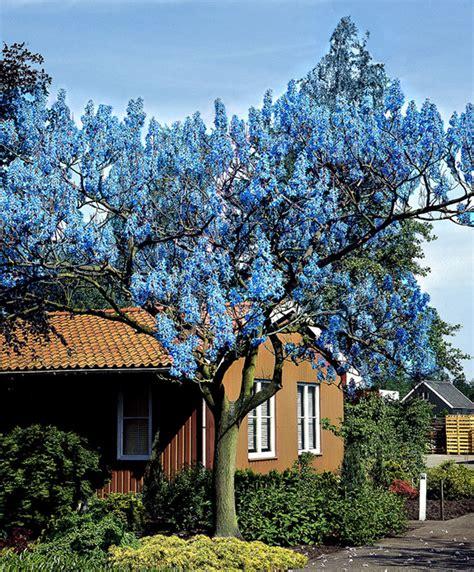 Chinesischer Blauglockenbaum Kaufen by Kaufen Sie Jetzt Baum Blauglockenbaum Kaufen Bakker