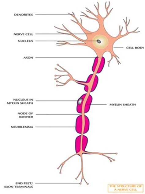 labelled diagram of nerve cell myelin sheath made of images frompo 1