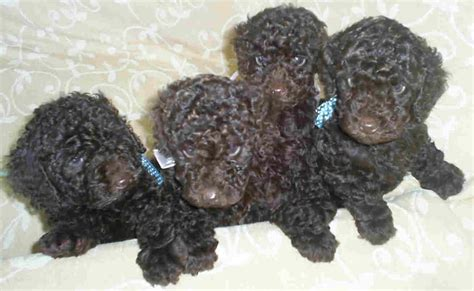 poodles puppies kelder breeder of poodles phantom poodles