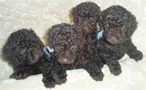 poodles puppies kelder breeder of poodles phantom poodles