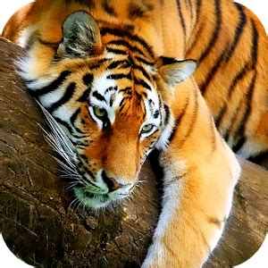 tiger   wallpaper android apps  google play