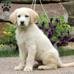 labradoodle puppies for sale in md labradoodle puppies for sale in pa