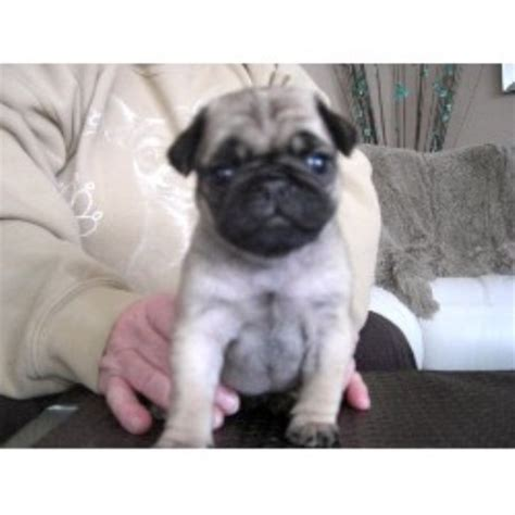 pugs edmonton pug breeders in alberta freedoglistings