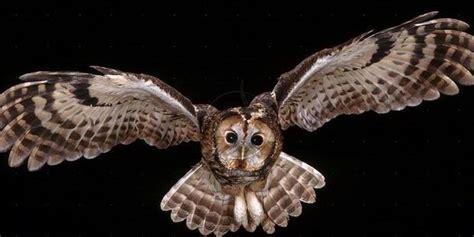 barn owl cara melatih burung hantu cara memelihara burung hantu 8 sukses om kicau