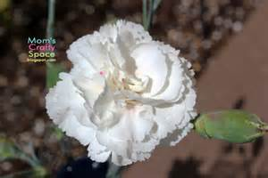 color changing carnations simple science color changing carnations happiness is
