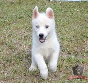 free husky puppies in florida adorable blue eyed siberian husky puppies for florida fl models picture