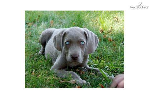 weimaraner puppies for sale in indiana weimaraner for sale for 500 near muncie indiana d22ed3b7 51a1