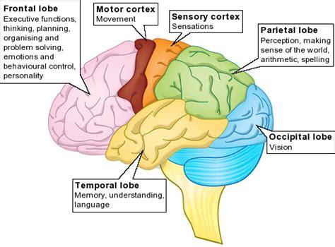 brain | gender differences in addictive behaviour
