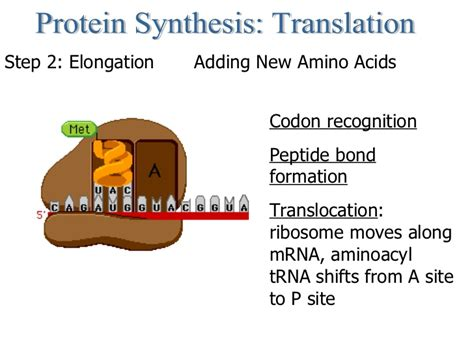 protein synthesis steps protein synthesis step by step images