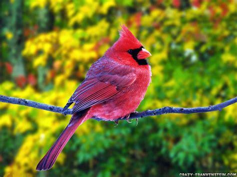 pink wallpaper with birds summer fat red cardinal beautiful birds wallpaper