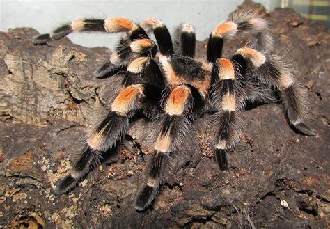 photo tarantula rotfussvogelspinne  image  pixabay