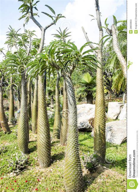 Albero Con Le Spine by Albero Spinoso Cactus Fotografie Stock Immagine