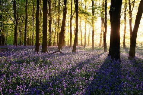 bluebell forest uk120 bluebells bloom at sunrise dockey wood ashridge