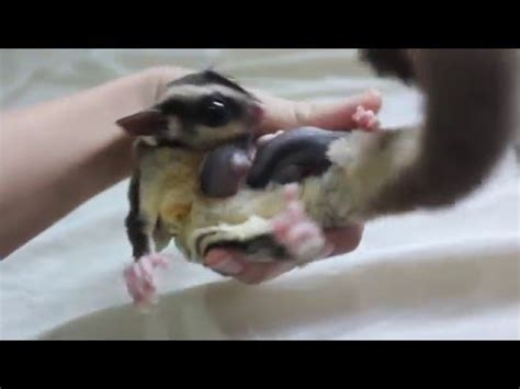 Hanging Pouch Sugar Glider Pouch Pisang Aksesoris Sugar Glider Hammock sugar glider joeys hanging out of the pouch