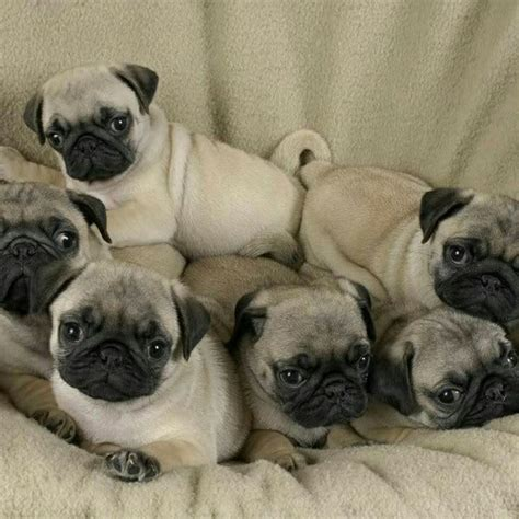 pug puppies for sale island ny pug puppies for sale island ny www islandpuppies 631 624 5580 island