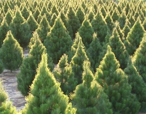 top 28 real christmas trees for sale perth collection