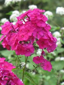 Common Garden Flowers Pictures And Names Garden Phlox Nicky Phlox Paniculata Nicky Perennials