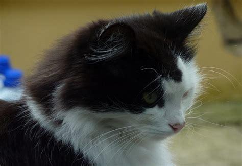 allergia alimentare gatto dermatite allergica alimentare nel gatto allergia