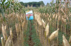 Bibit Jagung Pertiwi 6 menggandakan untung dengan tumpang sari benih pertiwi