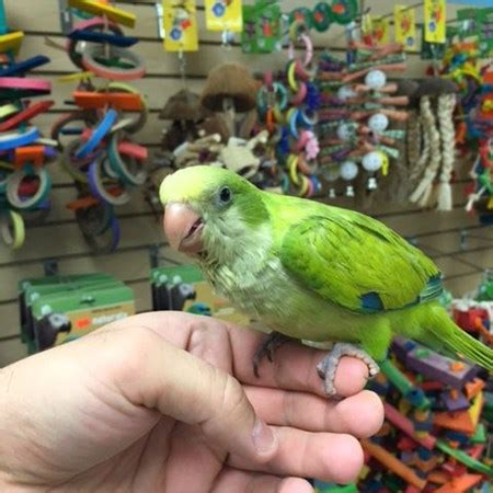 quaker parrot 115679 for sale in chicago il