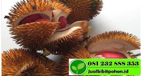 Harga Bibit Pohon Durian Merah bibit durian merah kaki 3 archives jual bibit pohon
