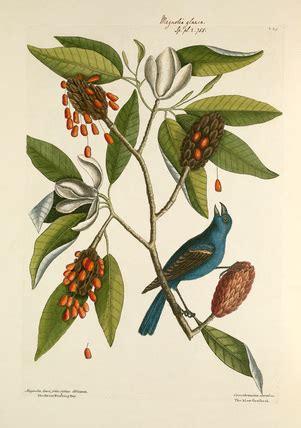 magnolia lauri folio subtus albicante sweet flowering