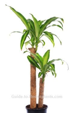 typical house plants corn plant dracaena fragrans indoor house plants common house plants how to trim