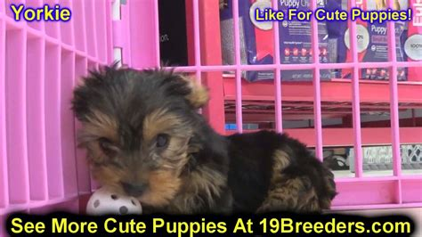 yorkie puppies for sale in columbia sc yorkie puppies for sale in columbia maryland md perry pikesville