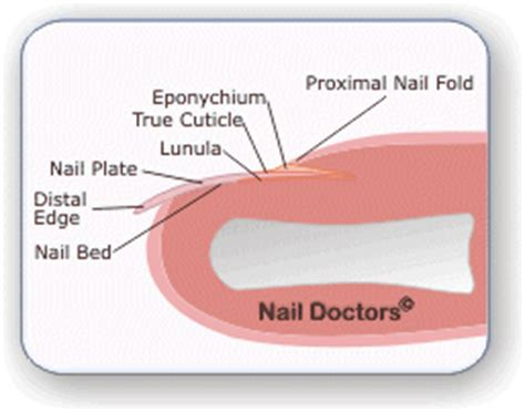 what is a nail bed nail doctors fingernail information