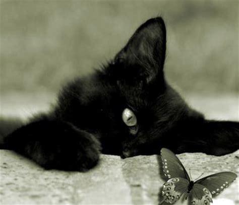 quanto vivono i gatti persiani gatto nero archives amoremiao