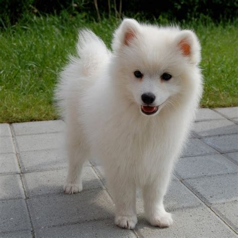 spitz breeds japanese spitz breed guide learn about the japanese spitz