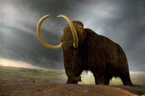 mammoth images can we grow woolly mammoths in the lab george church
