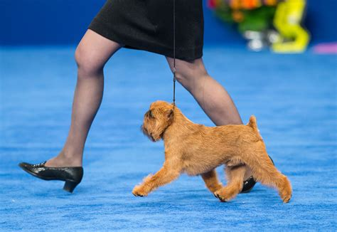 Best In Show Puppy 15kg 2017 national show winner brussels griffon newton