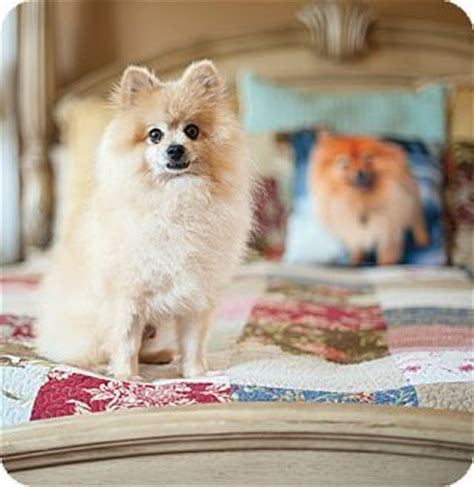 pomeranian rescue dallas tx 17 best images about adoptable dogs on adoption chihuahua dogs and weights